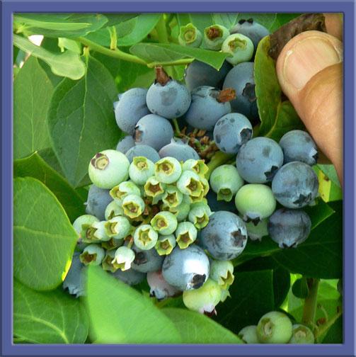 06_14_berries