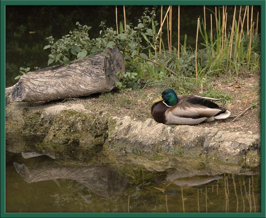 07_15_duck