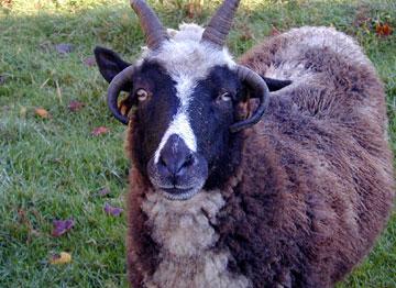 09_29_sheep