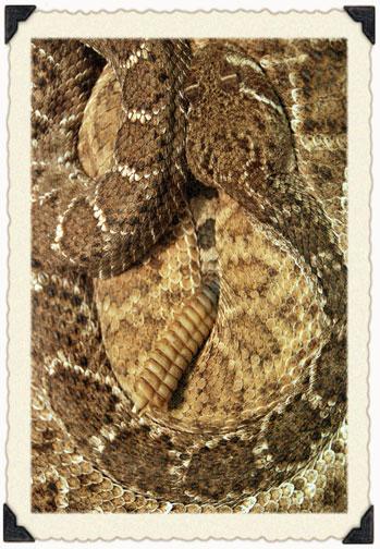 10_22_rattlesnake