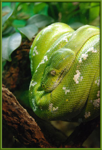 10_23_green_tree_python