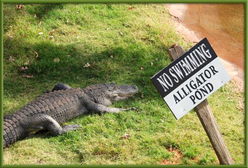 10_25_alligator