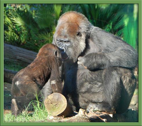 11_16_gorilla