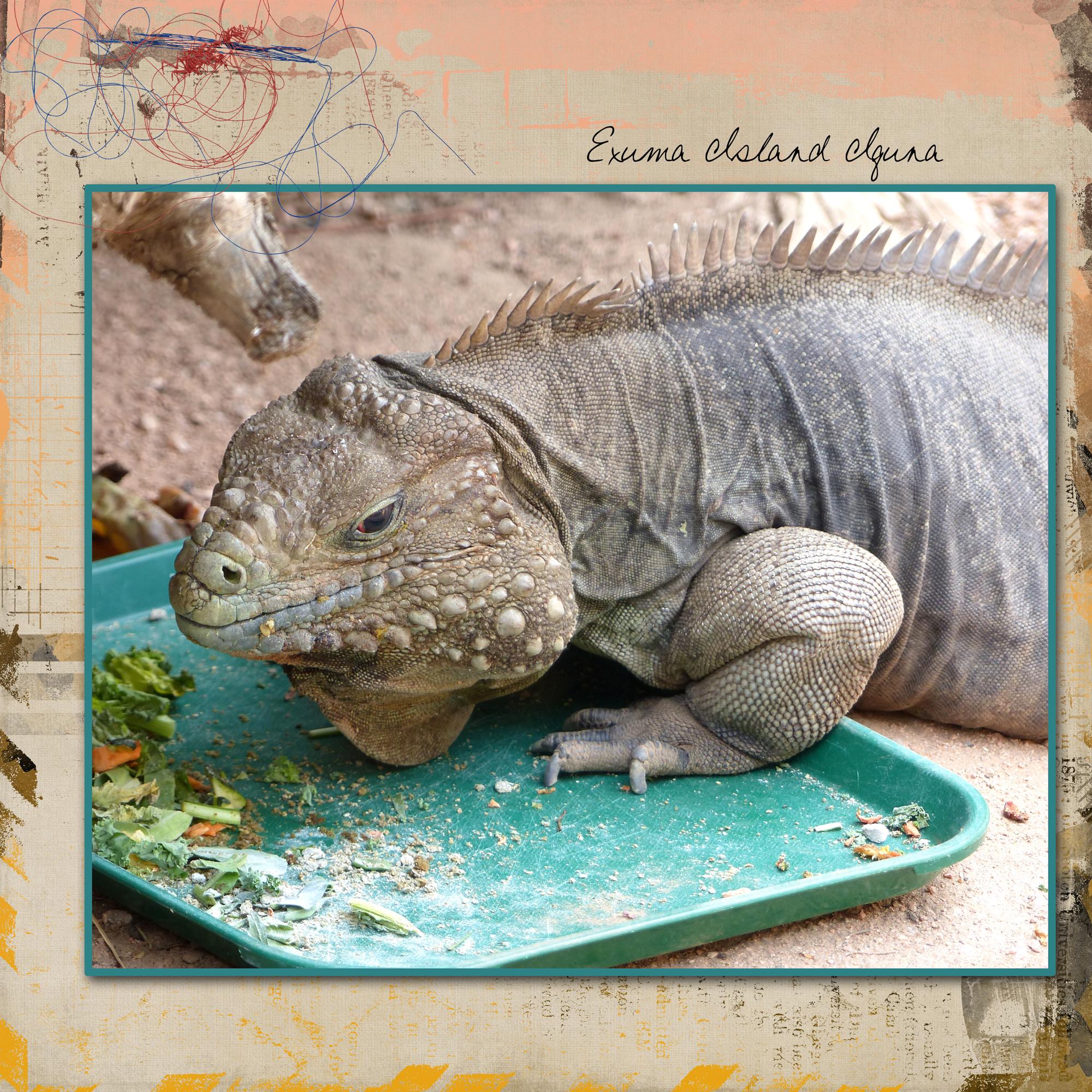 exuma_island_iguana