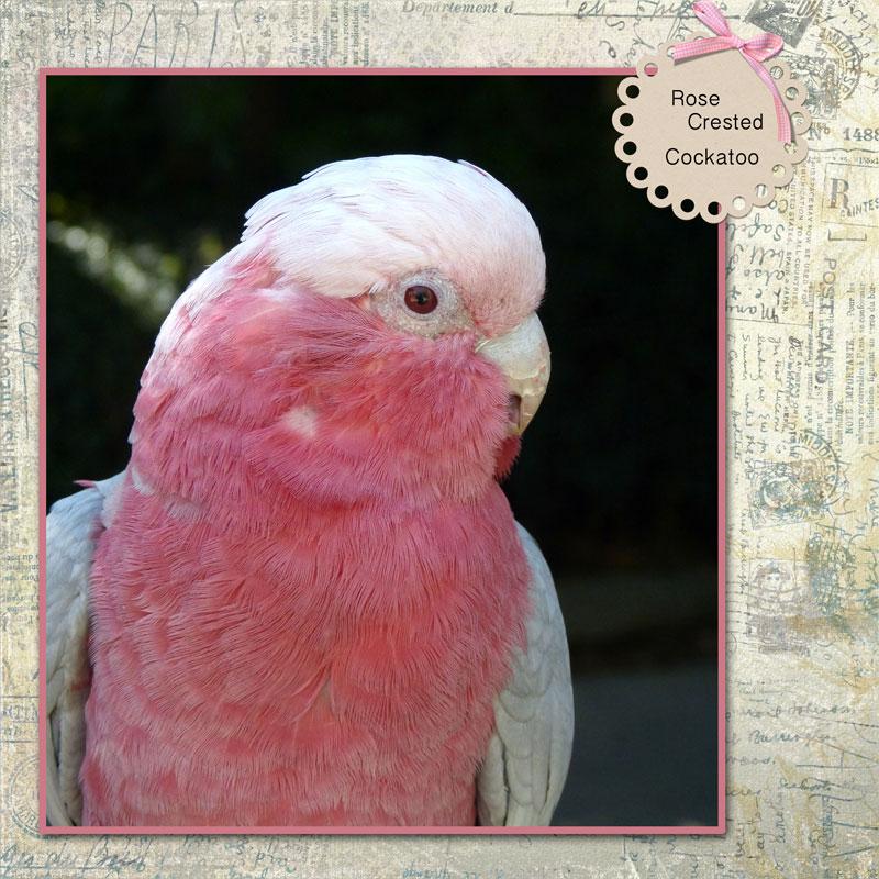 rose-crestedcockatoo