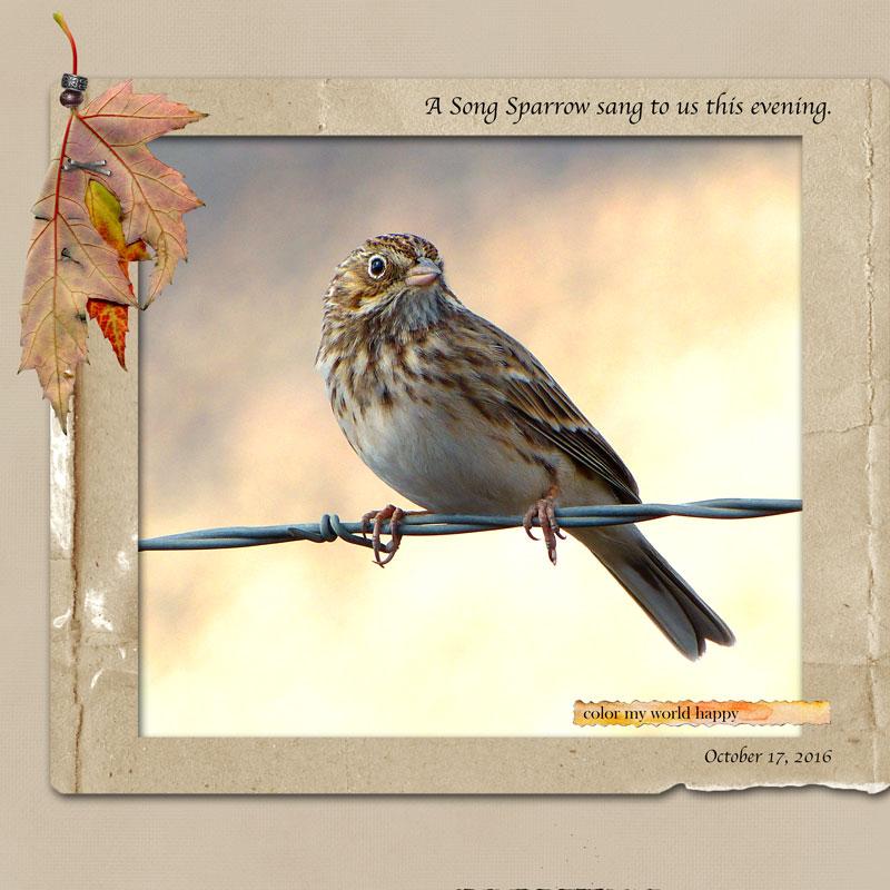 song_sparrow3